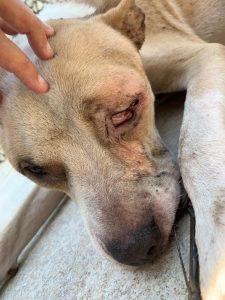 Cão resgatado com problemas de saúde